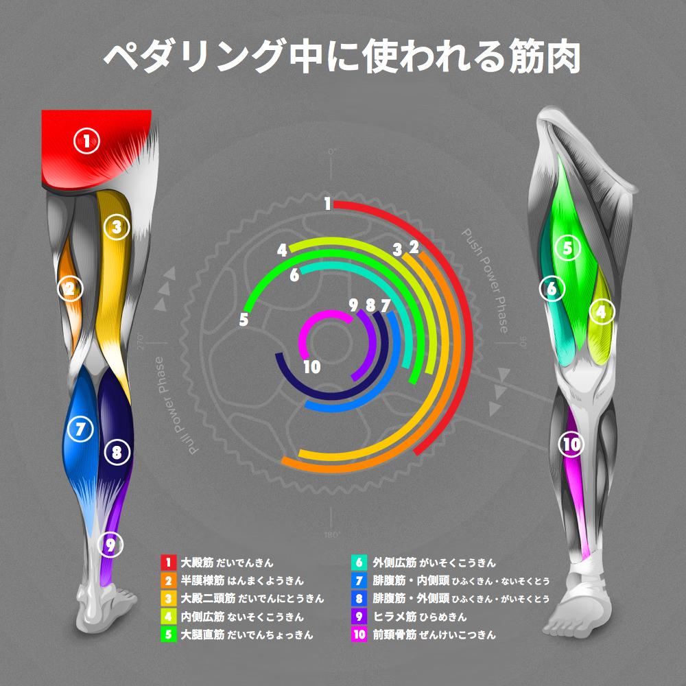 ペダリング中に使われる筋肉